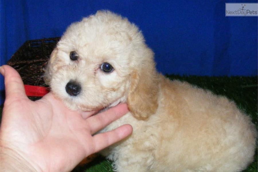 Abby Cockapoo Female Cockapoo Cockapoo Puppies For Sale Cockapoo Puppies