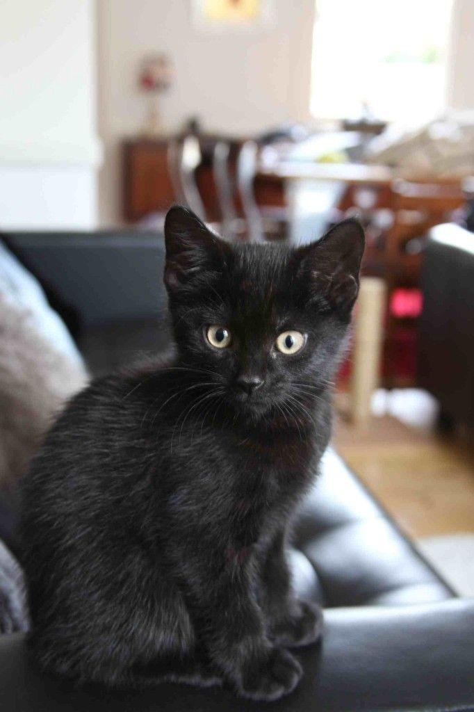 Black kitten at 8 weeks. So cute. Thejavawitch... his eyes