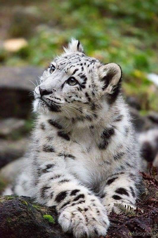 Tiereschnee Tiere Schneeleopard Wilde Tiere