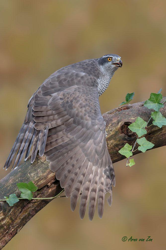 Female Northern Goshawk by Arno van Zon on 500px