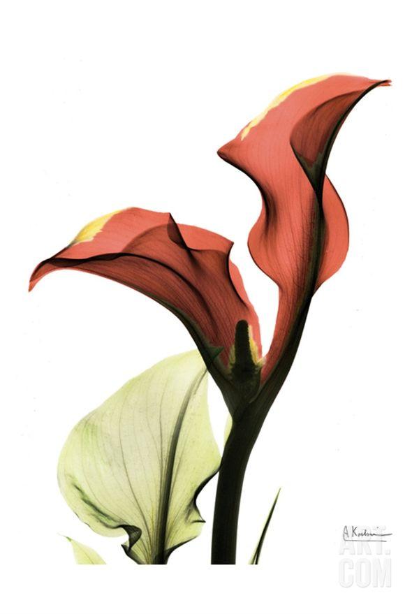 Calla Lily Red • Albert Koetsier