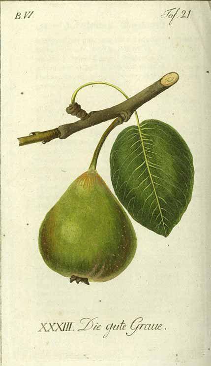 J.V. Sickler, antique pear fruit illustration, 1796