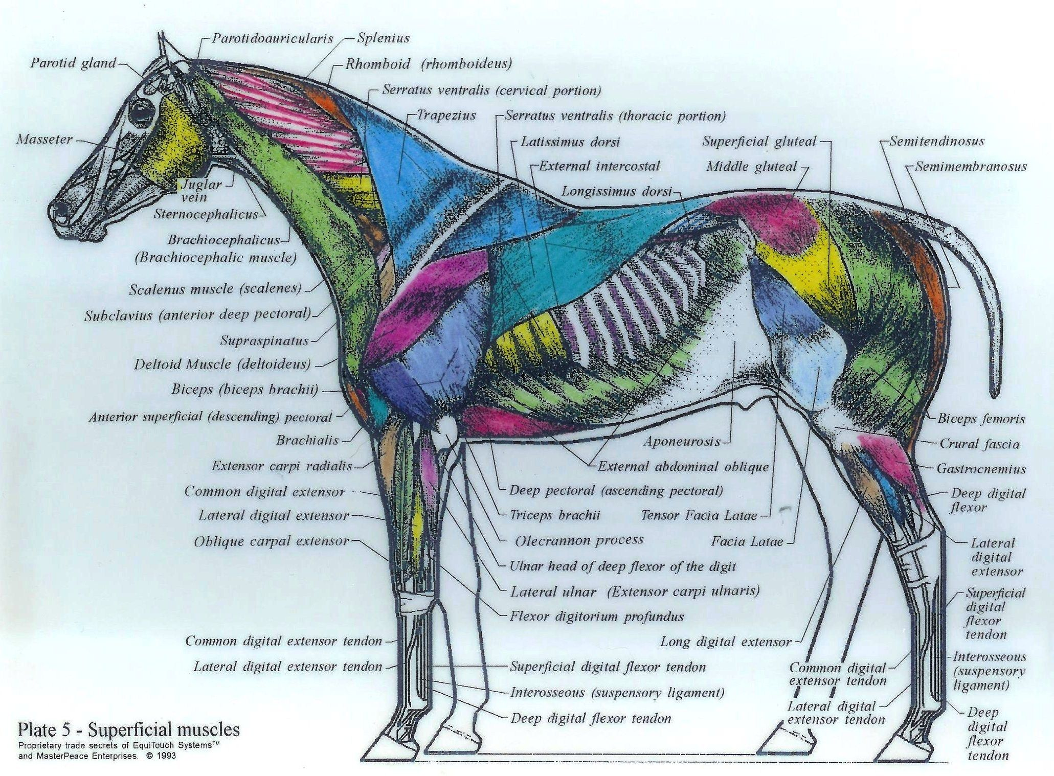 Muscle Diagram Drawings Horses - Schematics Wiring Diagrams •