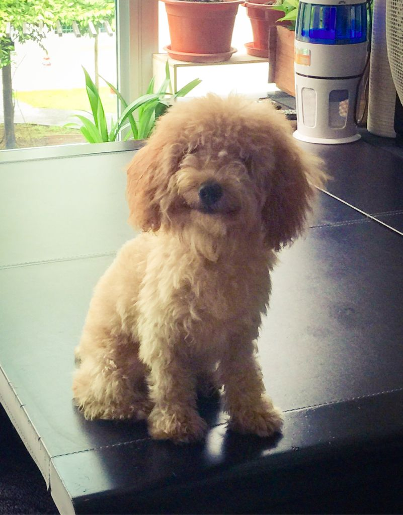 Apple Toy Poodle Pawshake Dogs Poodle Toy Poodle