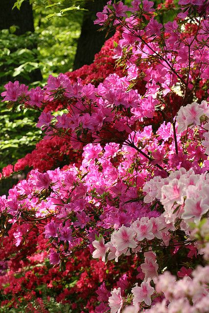 Azalea Symbolizes Temperance Passion Womanhood Take Care Of Yourself For Me And Fragility Flowering Trees Azaleas Planting Flowers