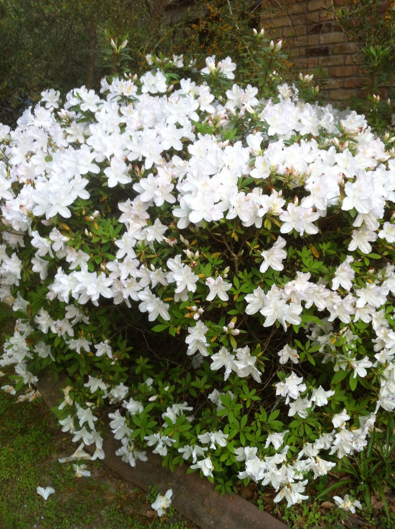 I Wanna Do White Azaleas On The Front Of The House Garden Design Plans Butterfly Garden Design Azaleas