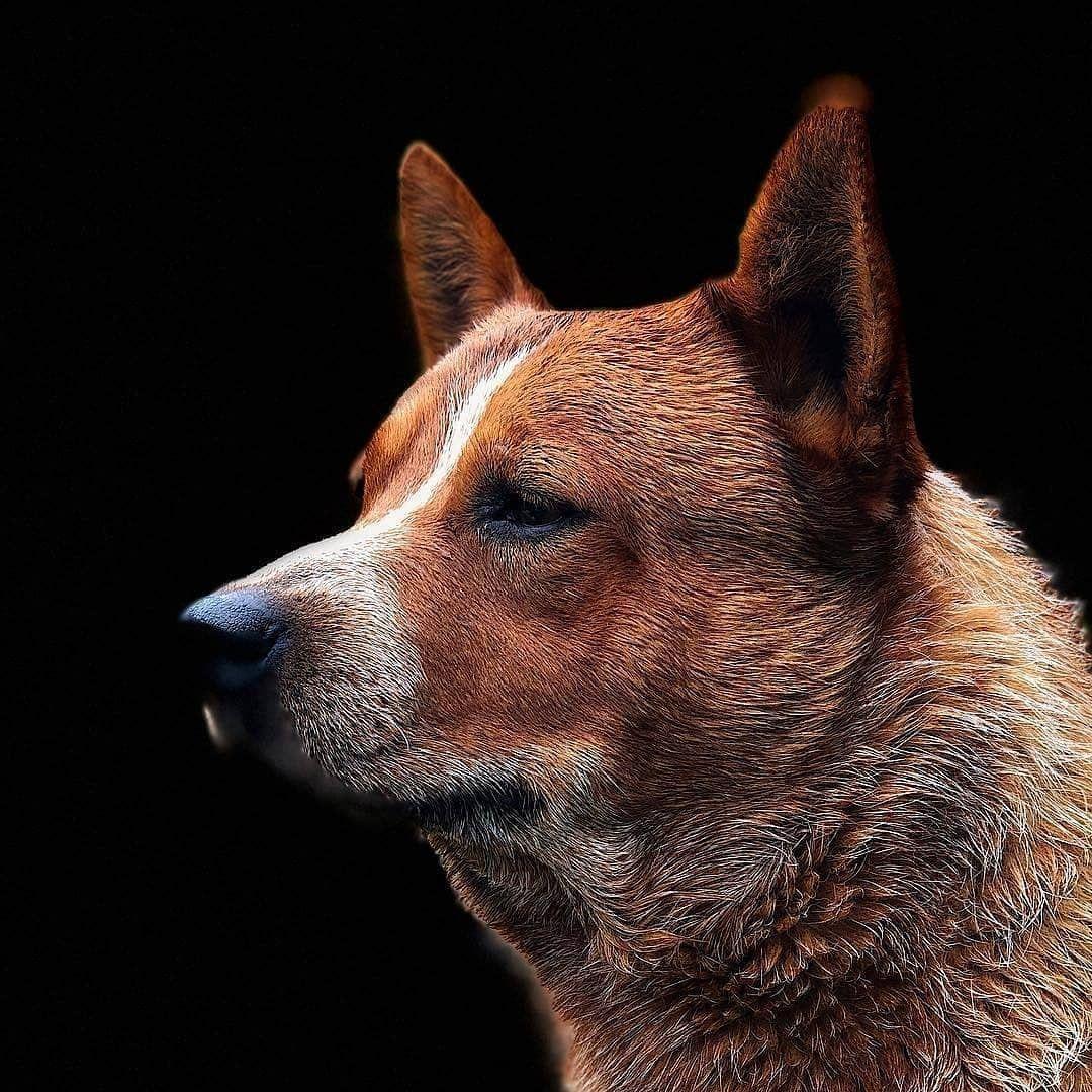 Texas 3, 5 Years Old AUSTRALIAN CATTLE DOG