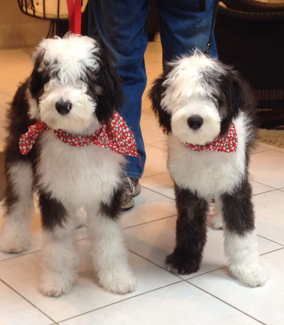 Sheepadoodles Feathers And Fleece Sheepadoodle Puppy Fluffy