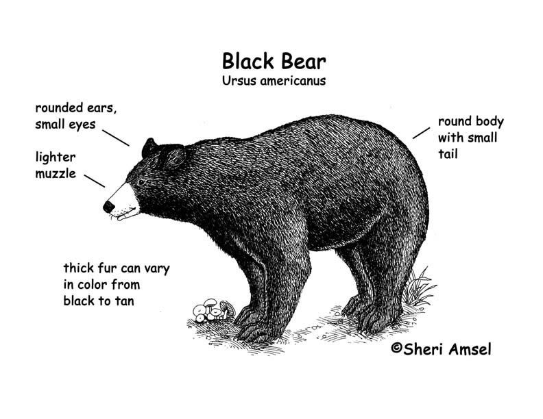 Outstanding Anatomy Of A Black Bear Adornment - Anatomy Ideas ...