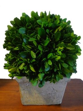 Preserved Boxwood Ball In Square Pot 8 Preserved Boxwood Balls Preserved Boxwood Boxwood Topiary Topiary