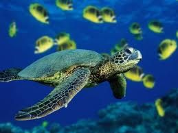 The amazing sea turtle...one swam right under me while snorkeling in Playacar...never forget that moment!