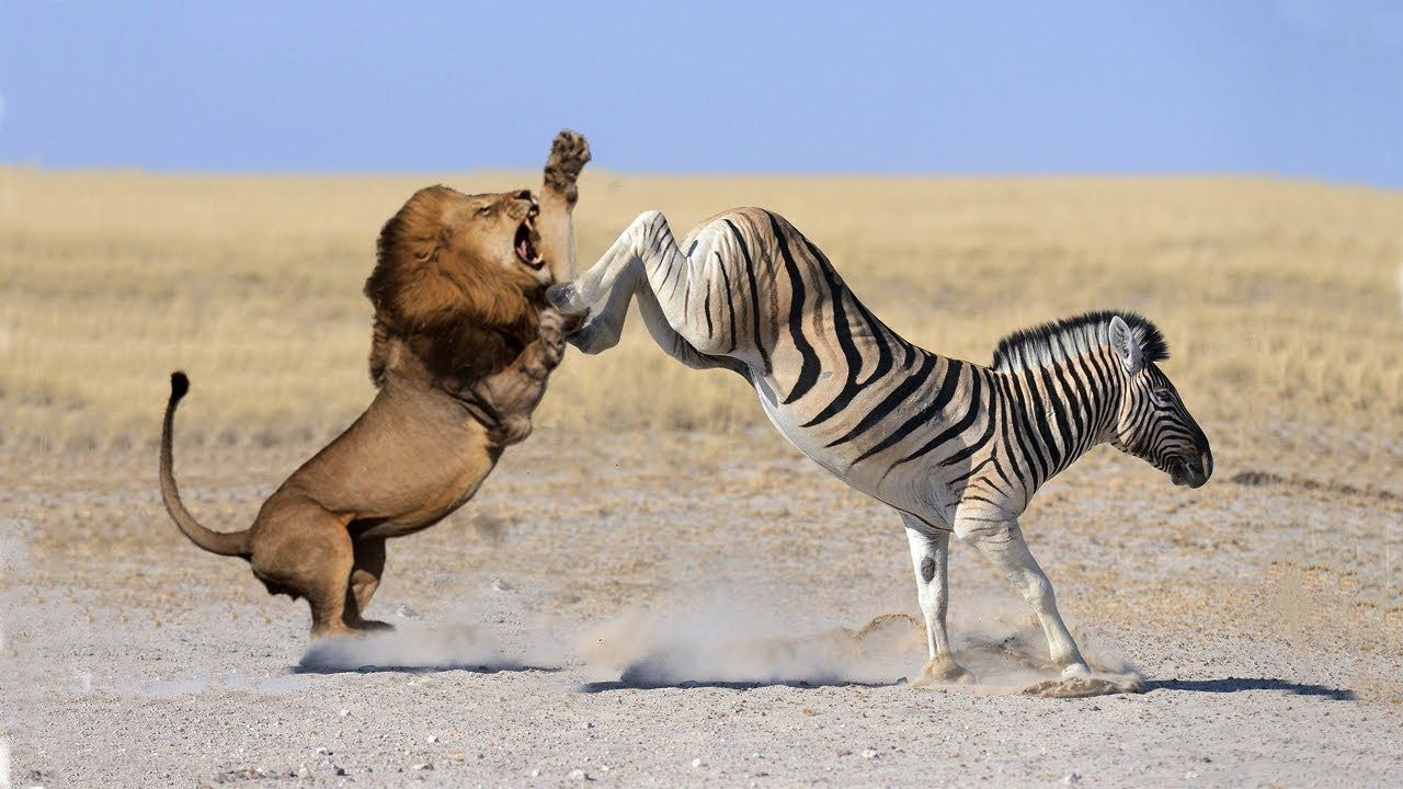 Spectacularly! Zebra Escape The Lion's Attack Cheetah
