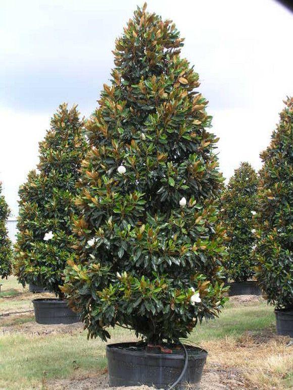 Garden Centre: Little Gem Magnolia 100 Gallon