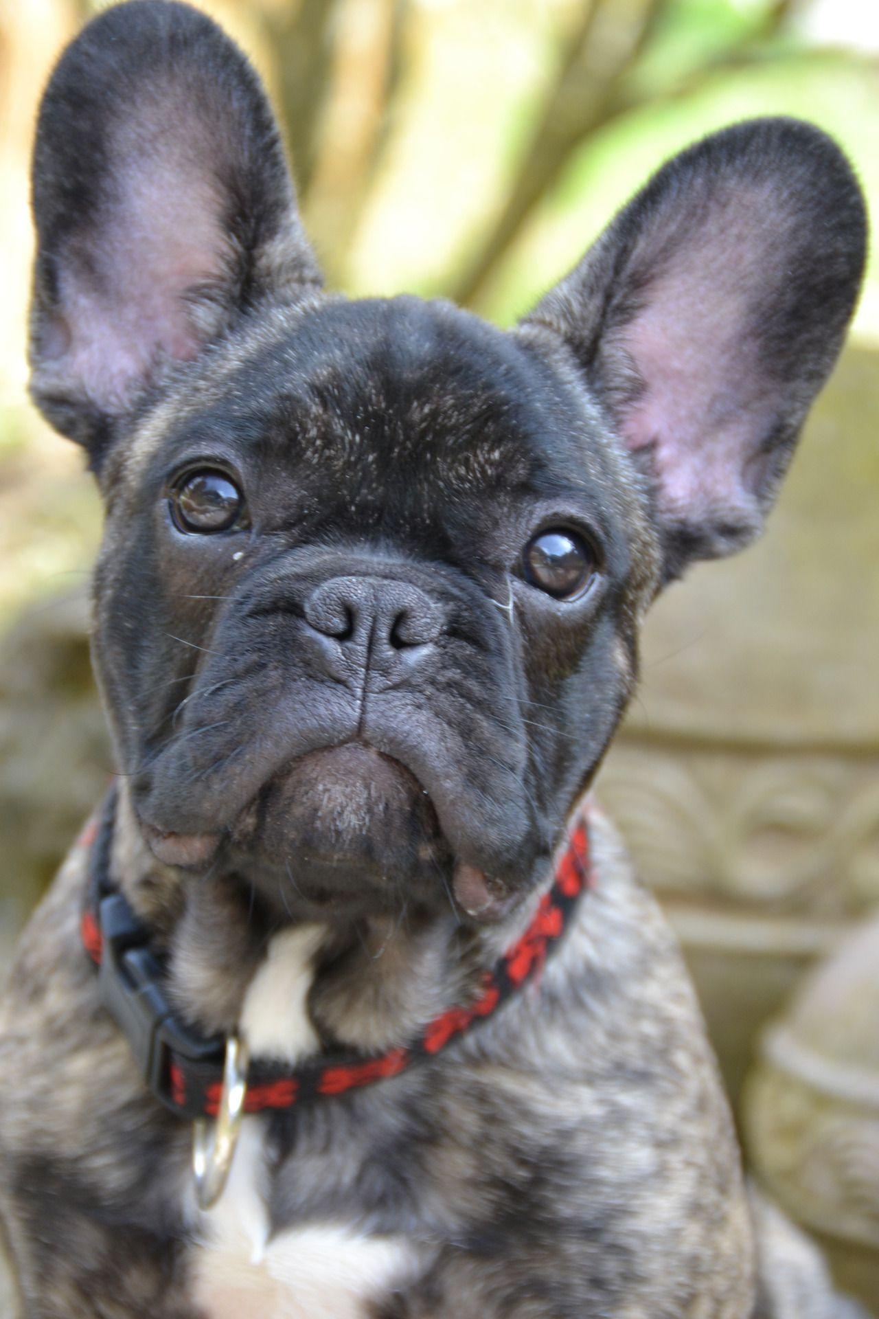 Brindle French Bulldog, so Handsome.