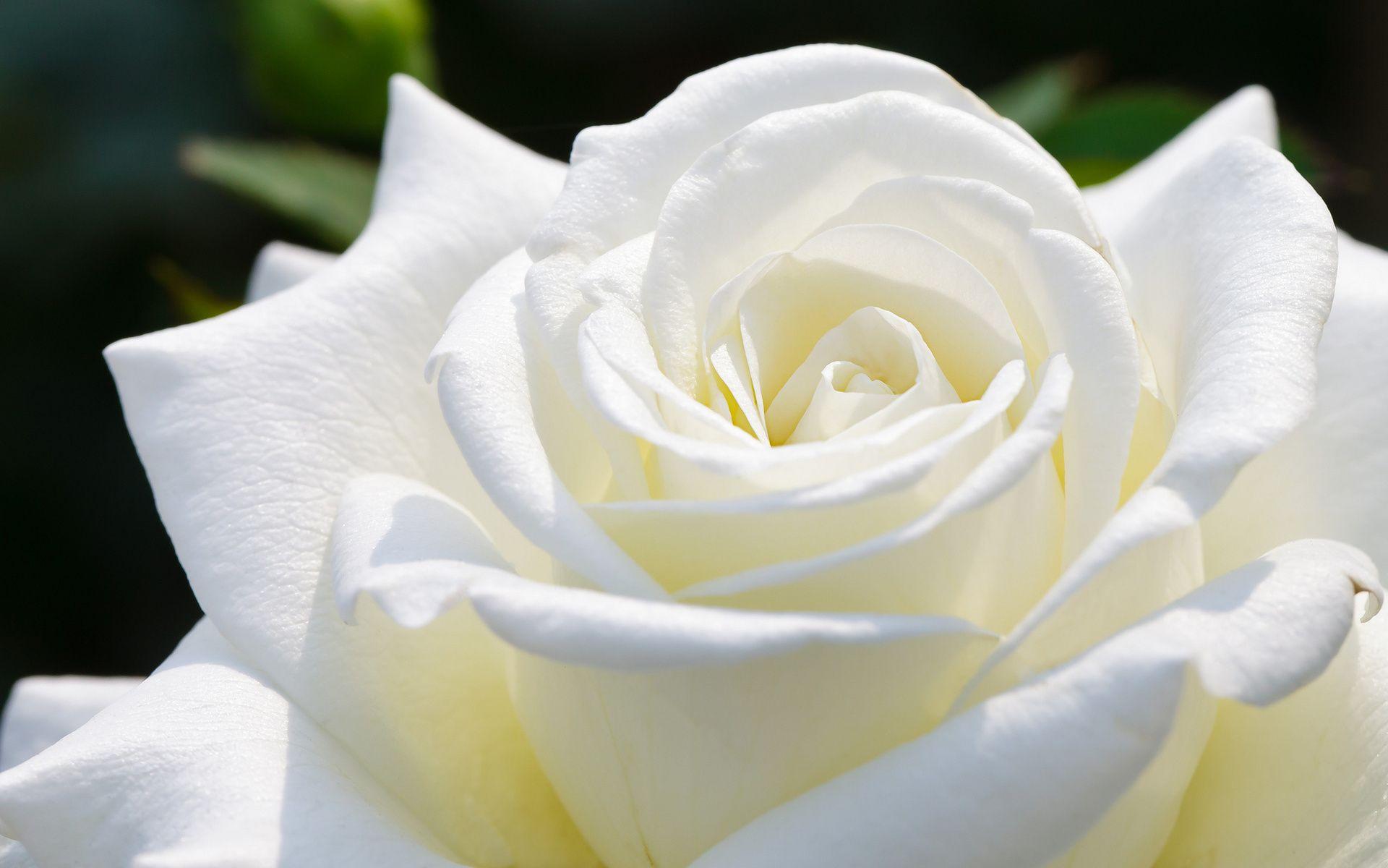 Beautiful White Rose HD Wallpapers   HD Wallpapers Fit ... White Rose Flower Garden Wallpaper