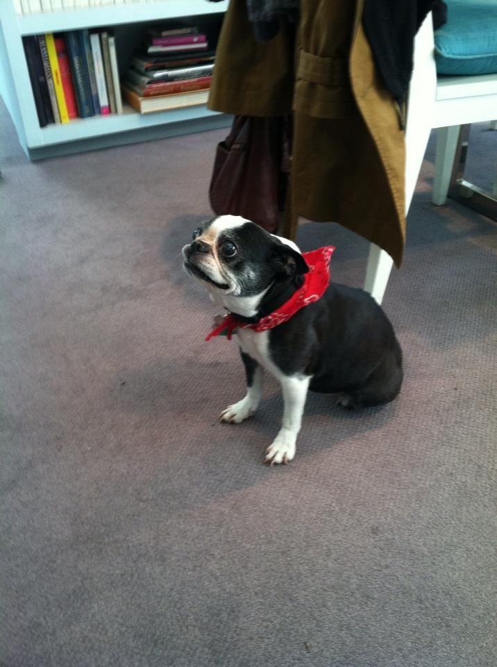 Vt Mascot Boston Terrier Sasha Dog Cutedog Bostonterrier