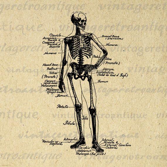 Human skeleton diagram digital printable image medical anatomy human skeleton diagram digital printable image medical anatomy graphic illustration download antique clip art 18x18 hq 300dpi no3859 ccuart Choice Image