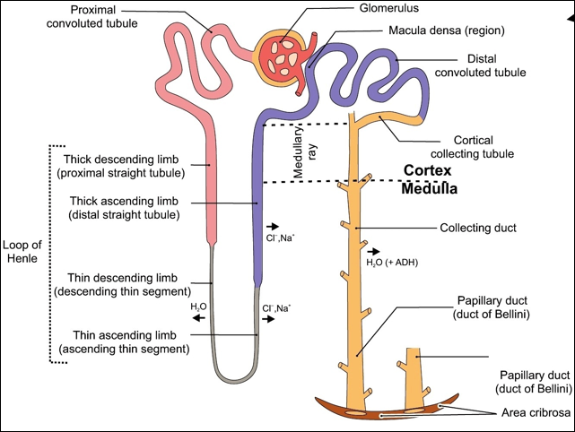 The Distal Convoluted Tubule Dct Begins Shortly After The