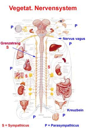 Vegetatives Nervensystem | Medicine - Anatomy & Physiologie ...