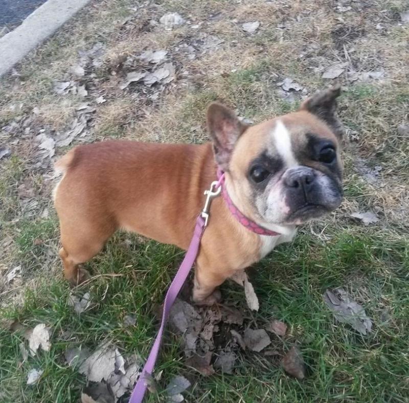 Adopt Betty on French bulldog dog, Bulldog rescue
