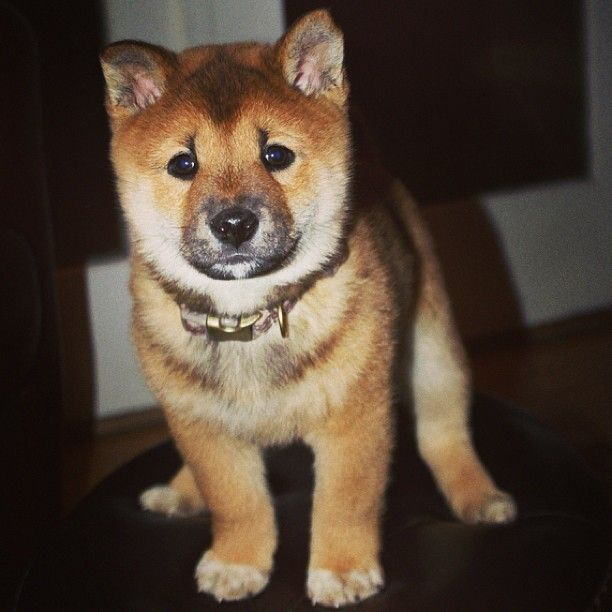 Hiiii Puppy Shiba Inu Cute Animals Puppies Baby Animals