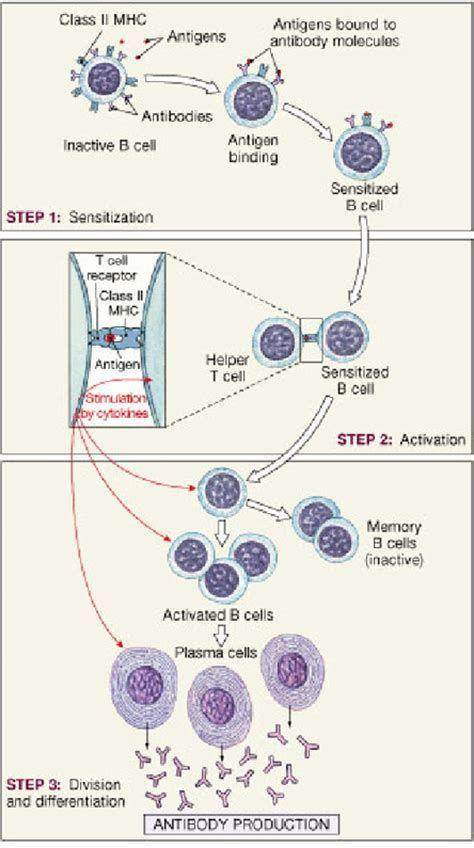 Biology 11 The Immune System Lymphaticimmune System Pinterest