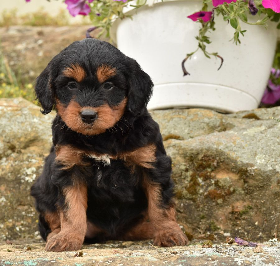 Puppies For Sale Cute Animals Dog Friends Lancaster Puppies