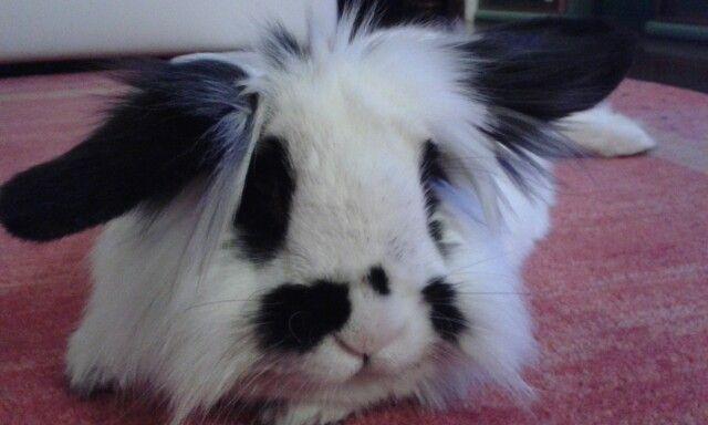Pantuflo my lionhead Bunny!
