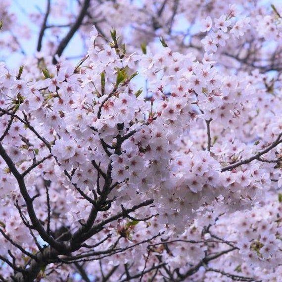 Yoshino Flowering Cherry Blossom Tree 3 4 Etsy Cherry Blossom Tree Ornamental Cherry Yoshino Cherry Tree