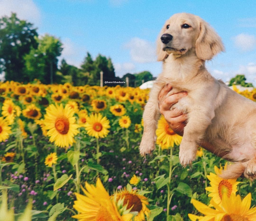 Sunflower Field Summer Dachshund Puppy English Cream Teckel Dogs Being Basic Everything The Light Touches Is Instagram Dogs Dog Sitting Golden Retriever