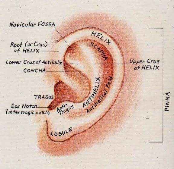 Ear Anatomy Pinna | Anatomy Picture Reference and Health News | Lend ...