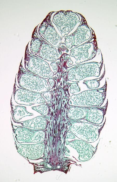 Gymnosperm Male Pollen Cone: Winged Pollen Grains ...