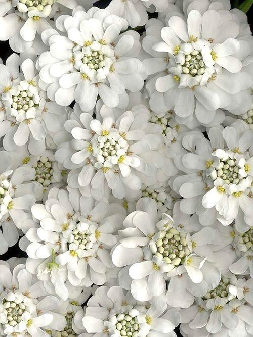 ~Candytuft  أحب هذه الزهرة وأحب لونها الأبيض الناصع رمز النقاء والعفة والطهارة !!