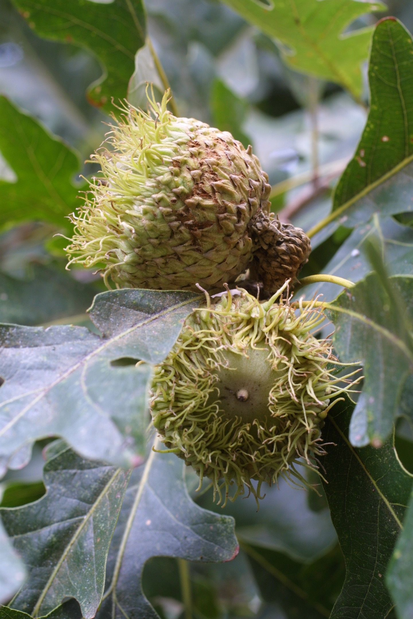 Quercus Macrocarpa Edible Keywords and Tags