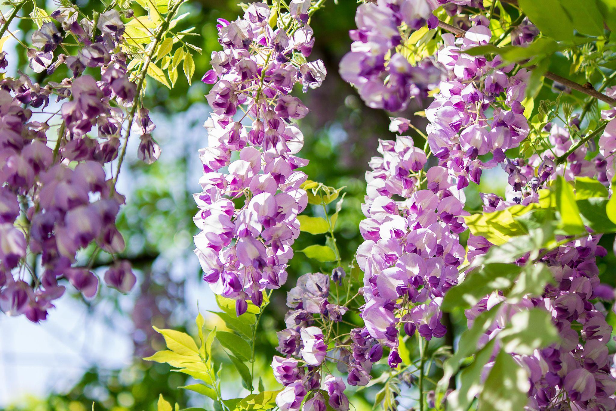 Purple Acacia Acacia Purple Pretty Pictures