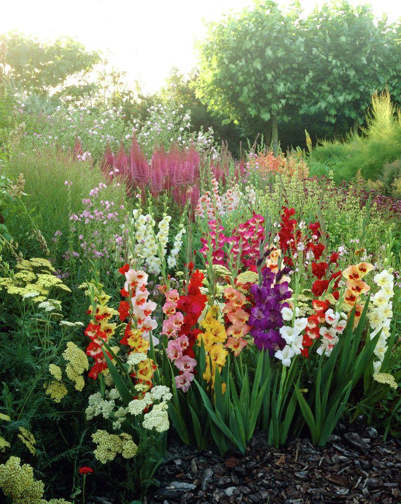 Gladioli gladiolus sword lily plants flowers for Flower garden plants ideas