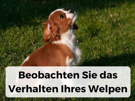 Wie lange dauert es, bis ein Welpe stubenrein ist? : Dogco