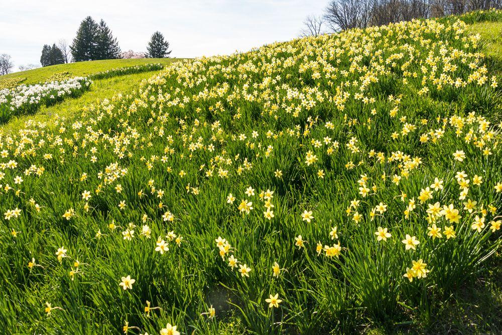 Daffodils at Winterthur. Photo by Bob Leitch