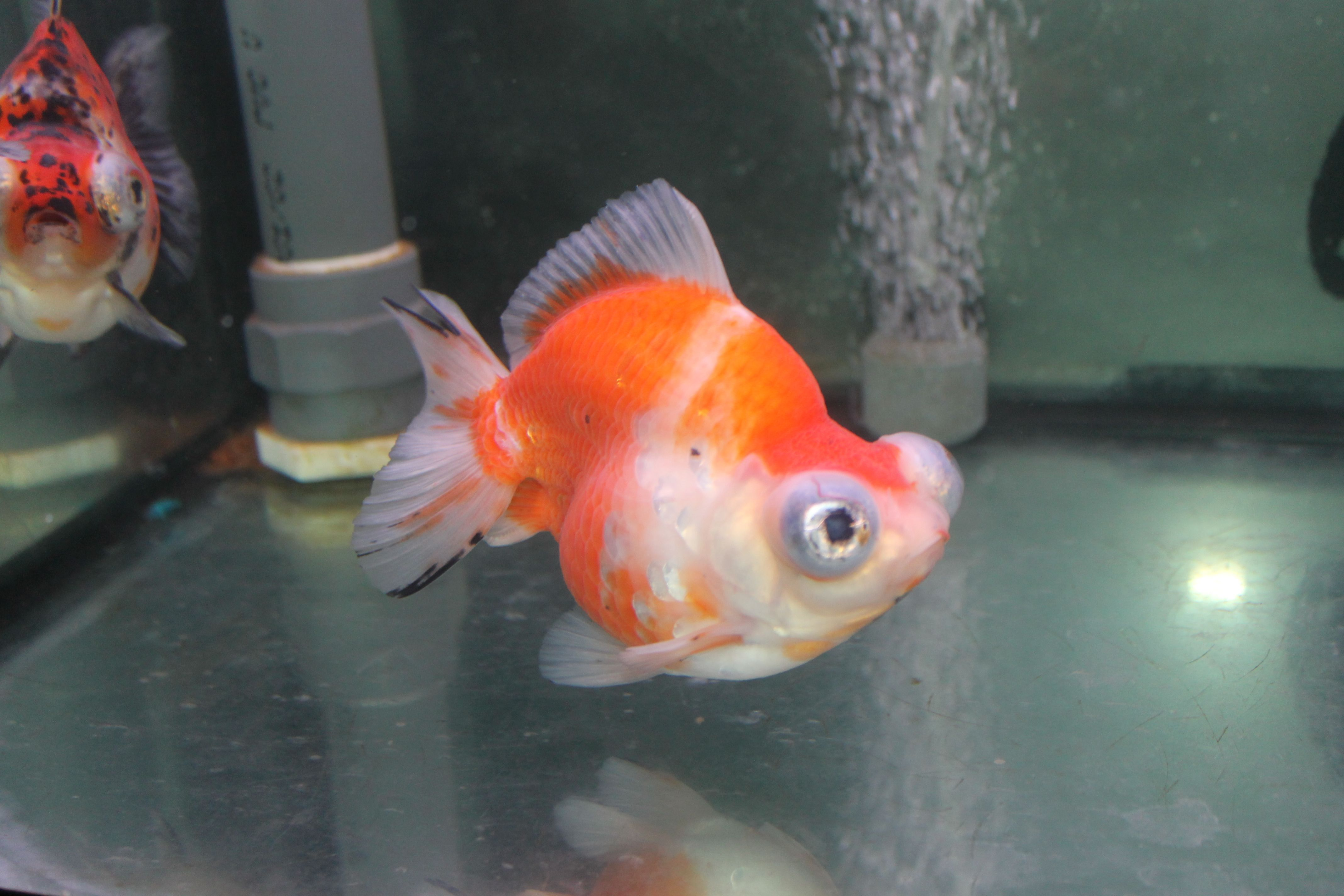 High Backed Calico Demekin Fancy Goldfish Goldfish Fish Pet Fish