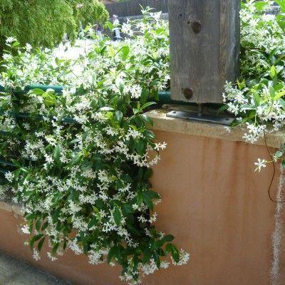 jasmin toil ou faux jasmin plantes pinterest faux jasmin jasmin et etoilee. Black Bedroom Furniture Sets. Home Design Ideas