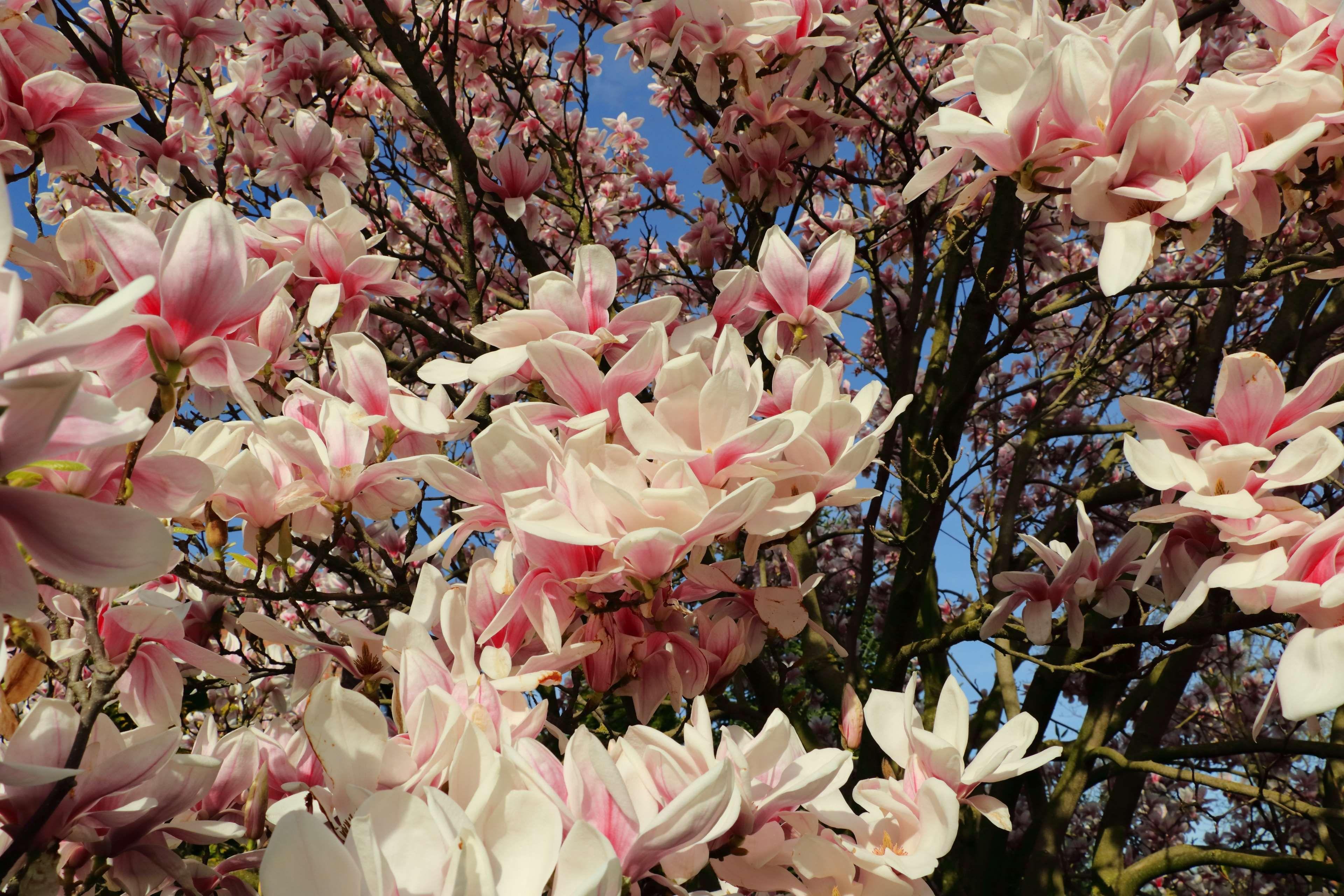 Bloom Blossom Bud Flowers Frhlingsblher Magnolia Magnolia Tree