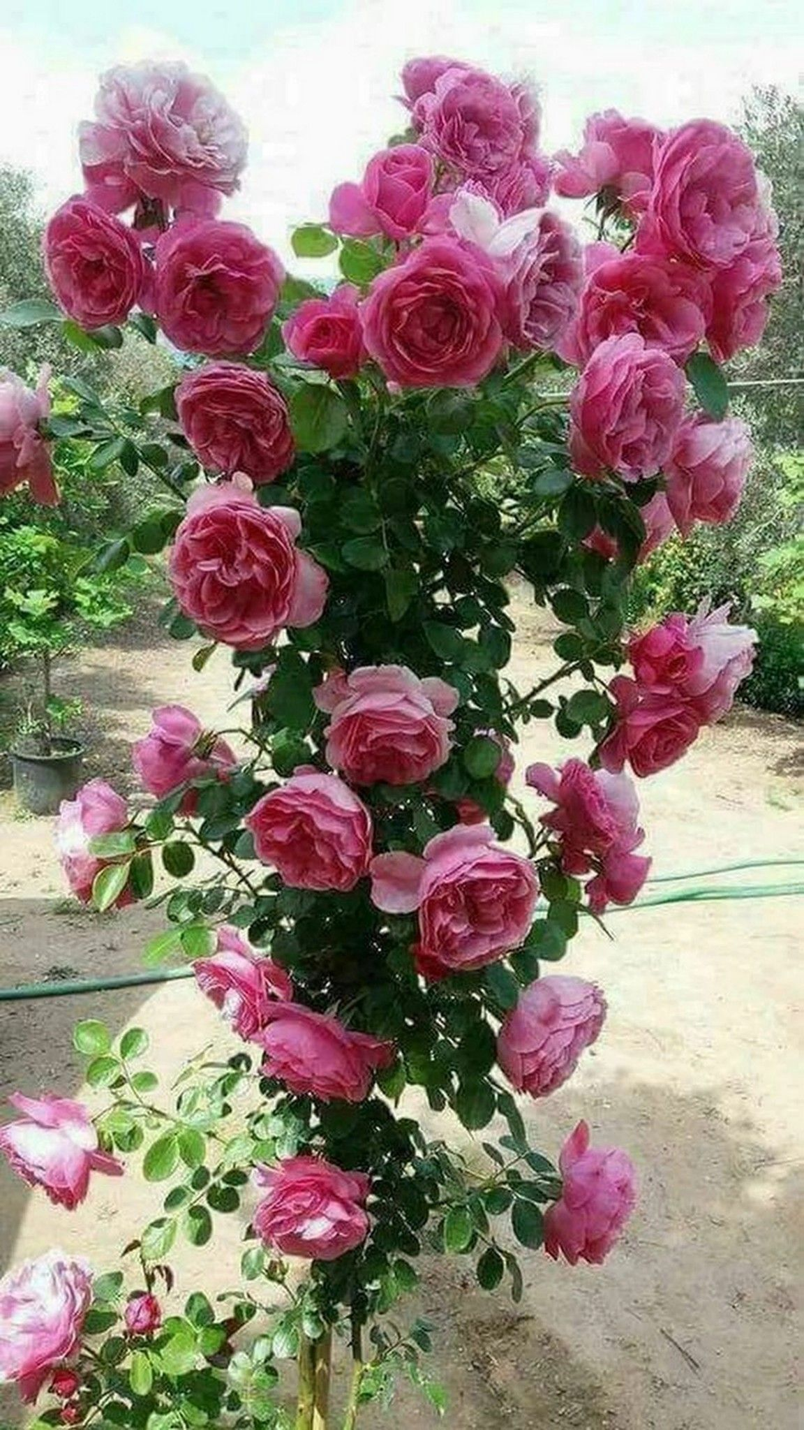 Maravilhoso Pe De Rosas Rosas Trepadeiras Flores