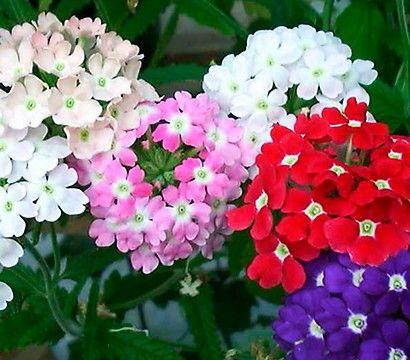 Hange Verbene Eisenkraut Zweifarbig Dehner Garten Center Blumensamen Bluhende Pflanzen Verbenen