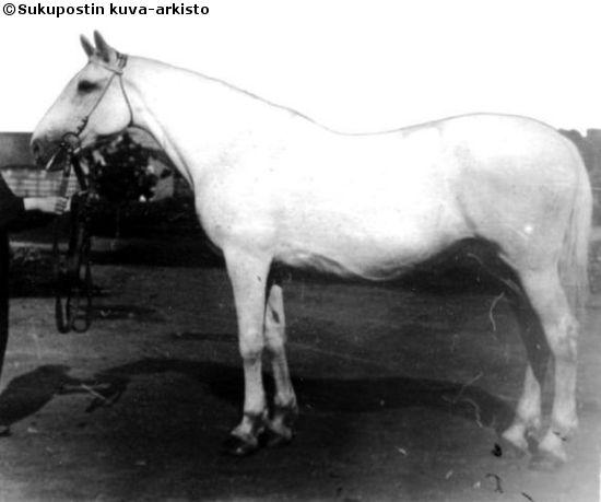 Orlov Trotter mare Raduga, born in USSR, 1929. By Udachnyj out of Ravnina by Rasskazchik