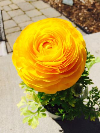 Yellow Ranunculus | Beets and Butter blog - beetsandbutter.com
