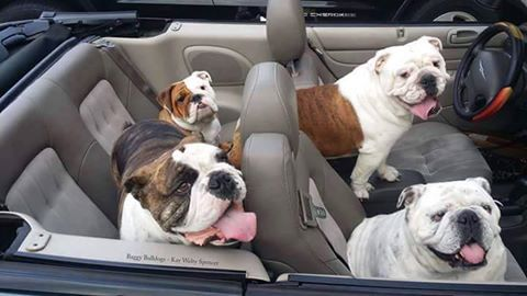 Get in loser  We're going to Petsmart  …   dogs   Bulldog puppies