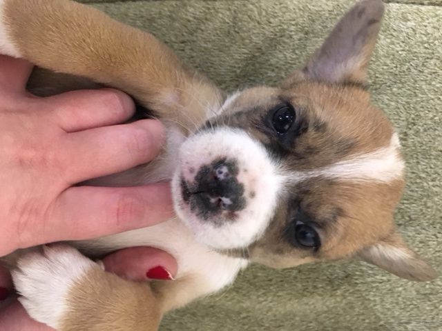 Litter Of 5 Australian Shepherd French Bulldog Mix Puppies For Sale In West Plains Mo Adn 57797 On Pupp French Bulldog Mix French Bulldog Australian Shepherd