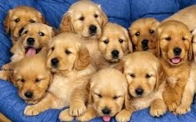 Gossos Buscar Con Google Golden Retriever Imagenes De Perros Cachorros Adorables