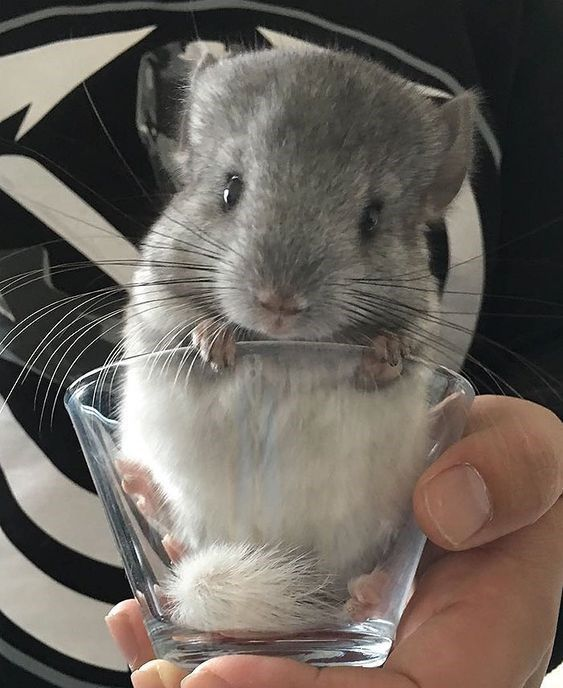 15 Images Of Baby Chinchillas That Will Melt Your Heart Chinchilla Cute Chinchilla Pet Cute Animals