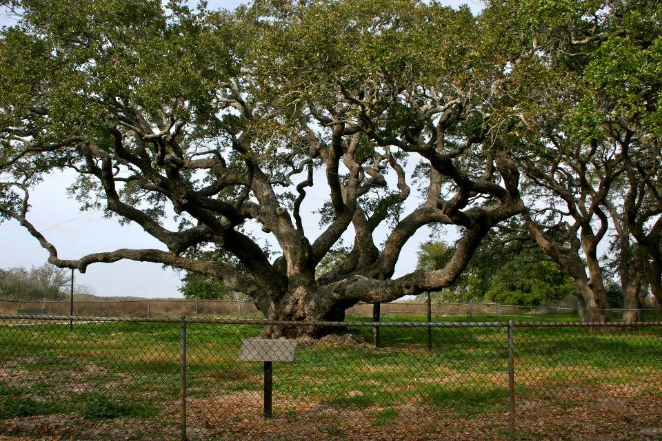 Texas Oldest Live Oak Tree 1000 Years Old In Rockport Tx